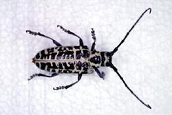 Cottonwood_Borer.jpg