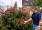 Video Screen Shots>Crape Myrtle and Phase II Development