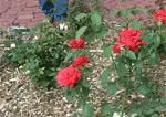 Video Screen Shots>Pruning Roses-KSU Gardens SPR10